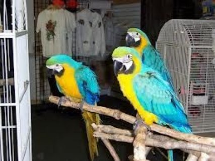 BLUE AND GOLD MACAW PARROTS/.//.
