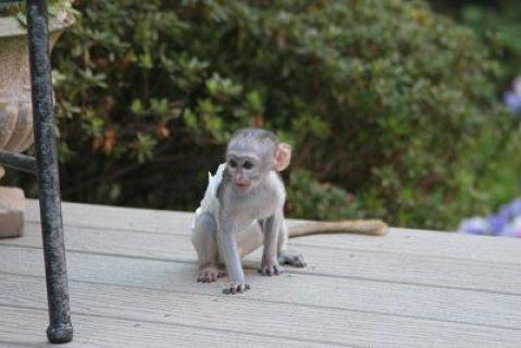 fantastic capuchin monkeys for adoption
