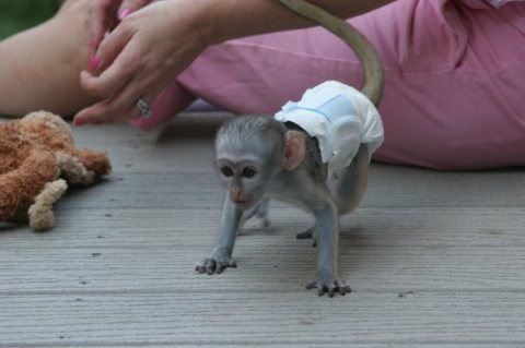 FIRST COME FIRST SAFE CAPUCHIN MONKEYS MALE AND FEMALE    CAPUCH