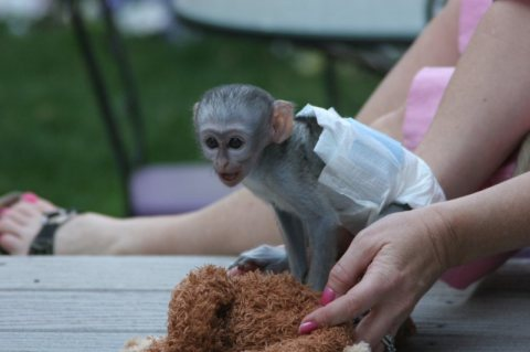 Lovely And Outstanding baby rhesus Monkey get her free for x-mas