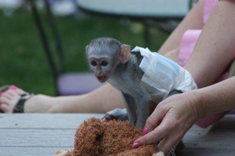 Affectionate baby marmoset monkey for adoption