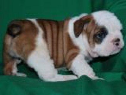 Adorable English Bulldog Puppies For Adoption/../././/.