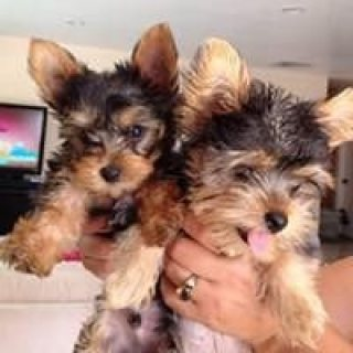 T-Cup Yorkshire-Terrier Puppies Available for adoption to loving