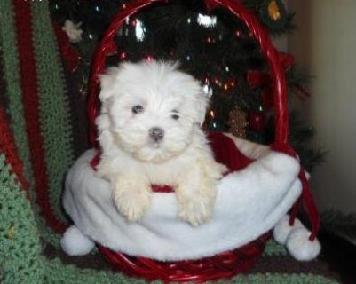 Gorgeous Teacup Maltese puppies for adoption 12weeks old