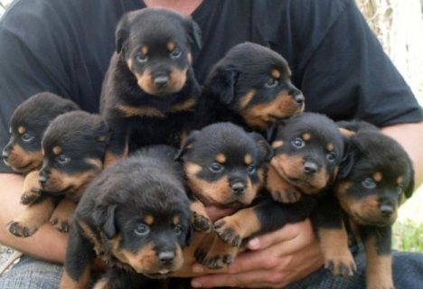 صور Quality Rottweiler puppies available for caring family ,,,..,.,. 1