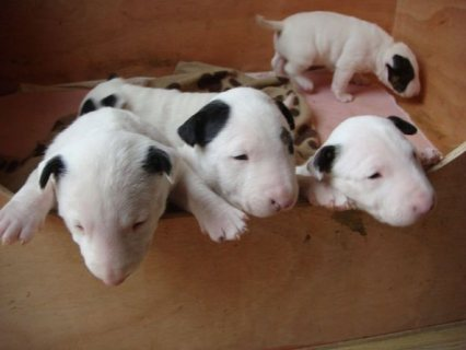 pedigree English Bull terrier puppies ready