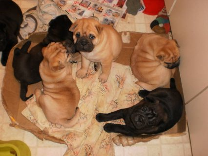 Chinese Shar-Pugs for sale...