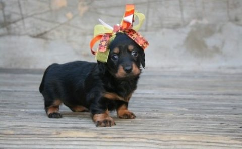 صور Well Trained Dachshund Puppies for sale 1