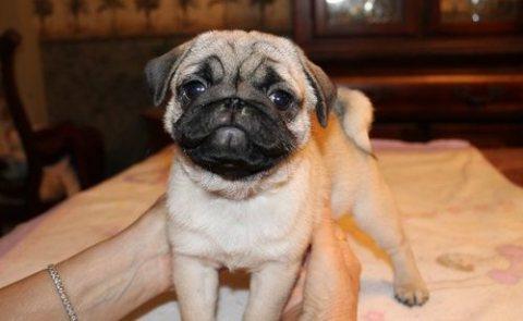 Pug puppies for Adoption...///../