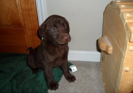 Labrador Retriever puppies for Adoption	././.