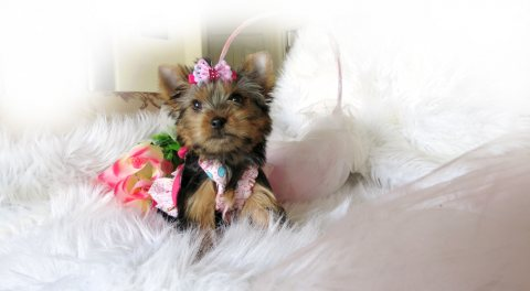 صور AKC Rare Quality Yorkie For Re-homing 1