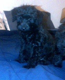Silky Schnoodle Puppies for sale .male and female ready .