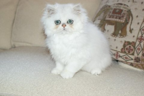 Beautiful Blue Point Baby Persian Kitten