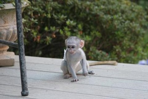Male and Female Capuchin Monkeys which we are giving out for ado
