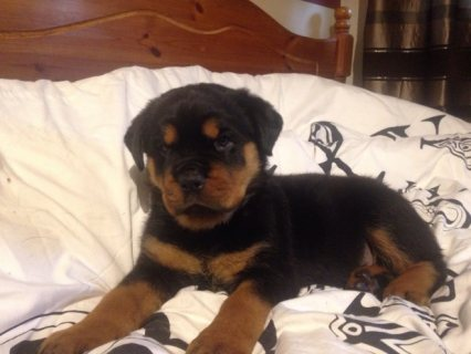 Adorable Male and Female Rottweiler Pups For Sale