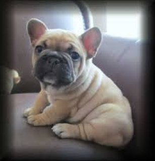 FRENCH BULLDOG PUPPIES For Sale.