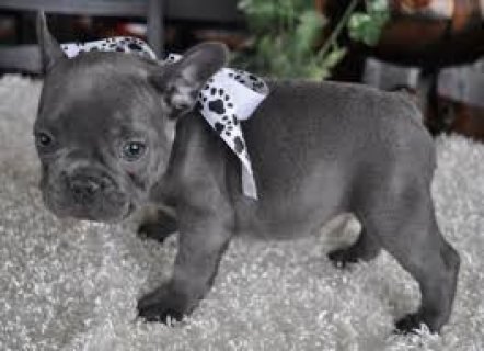 Gorgeous French Bulldog Puppies For Sale.