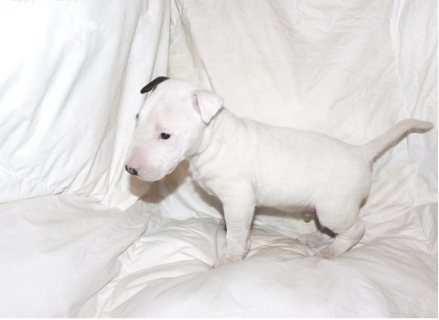 mini bull terrier puppies ready for sale