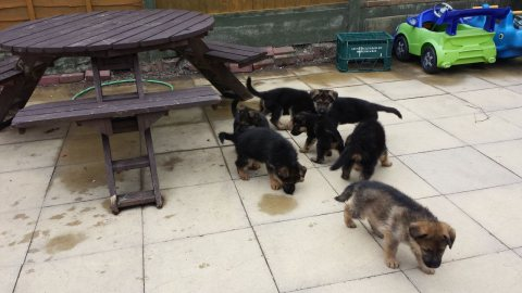 Excellent And Sweet Gorgeous German shepherd  Puppies