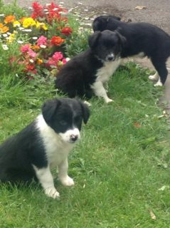 Home Trained Border Collie Puppies Puppies