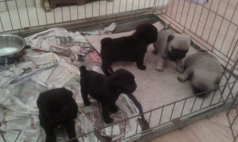 Affectionate and charming  Pug  puppies for adoption