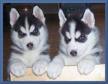 Cute Siberian husky Pups Available For Sale.