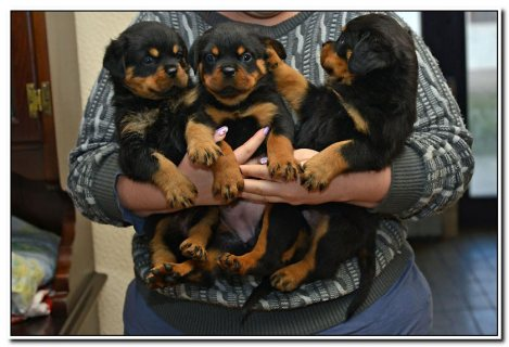 Outstanding Akc reg Rottweiler For Sale.