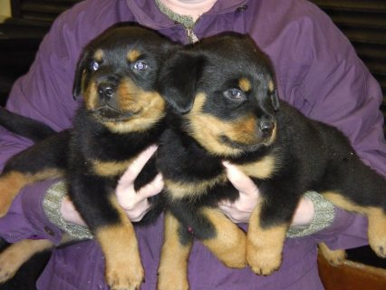 Outstanding Rottweiler For Sale.