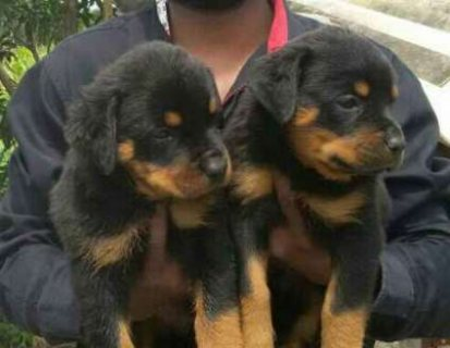 Cute Rottweiler Pups Available For Sale.
