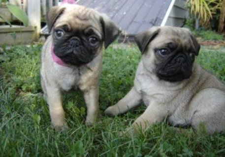 Male and Female Pug Puppies for Re-homing.