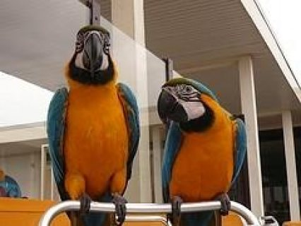 Two Lovely Blue and Gold Macaws parrots for sale