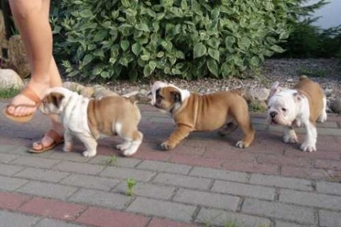 صور Beautiful male and female English bulldog puppies 1