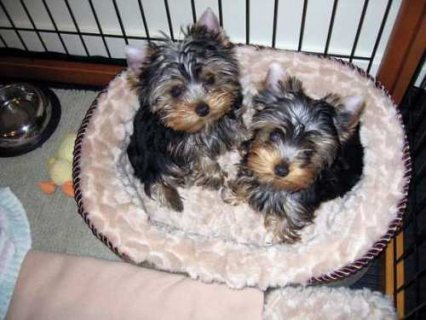 Most healthy teacup yorkies available for adoption