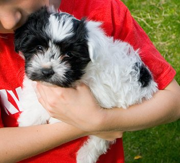 Havanese puppies for Adoption.