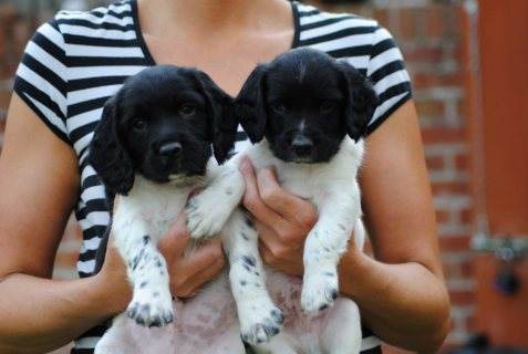 English Springer Spaniel puppies for Adoption