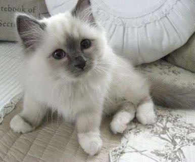 Two Birman Kittens For Sale