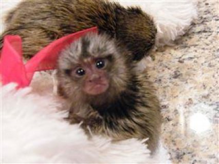 Male and Female Marmoset Monkeys Available