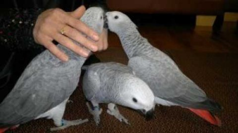 Pair of Talking African Grey parrots for sale