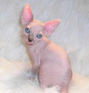 Adorable sphynx kittens ready for adoption.