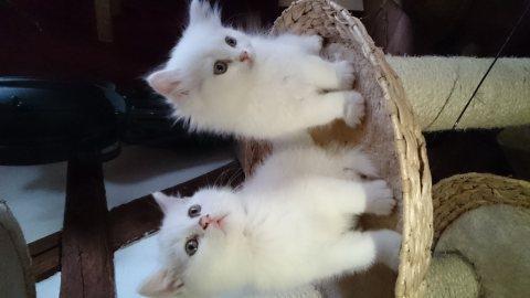 Cream female Persian  puppy for adoption