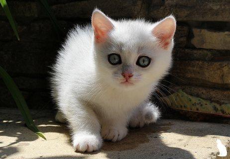 Kc Registered Persian kittens .