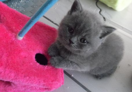 Healthy male and female British shorthair  kittens