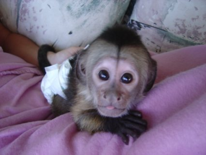 Marvelous Capuchin Monkeys for Sale   Capuchin monkeys. Top qual