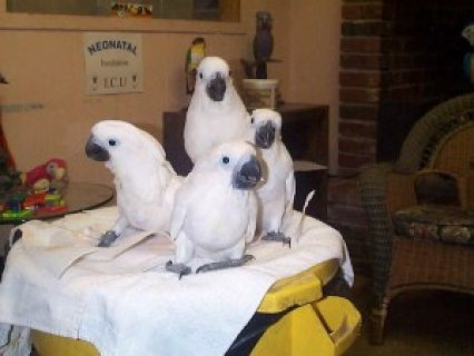 Adorable Pair of Umbrella Cockatoos Parrots for sale.