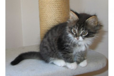 Maine Coon Kittens For sale.