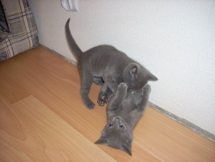 Russian Blue kittens for sale.