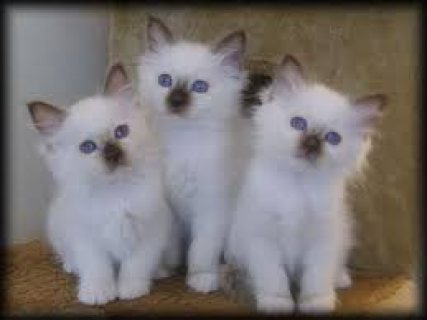 صور Adorable male and female Birman  kittens for sale . 1