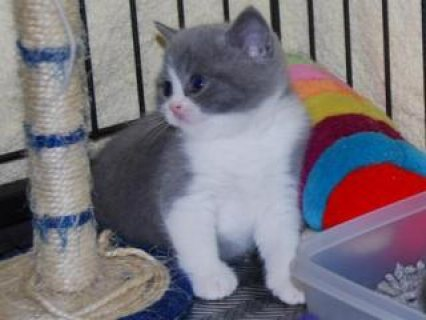 Gorgeous British shorthair kittens For Sale.