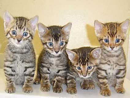 Beautiful Bengal kittens For Sale.