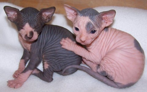 French sphynx kittens Available For Sale.